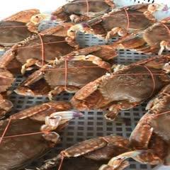 福建省漳州市東山縣鋸緣青蟹 東山南海野生捕撈肉蟹扁蟹