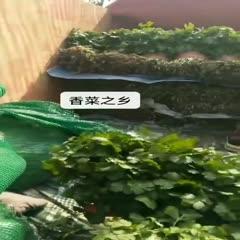 安徽省亳州市譙城區大葉香菜 10~15cm