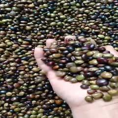 廣西壯族自治區貴港市平南縣 牛大力種子:大葉黃毛、中葉、小葉,品質干爽飽滿