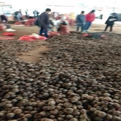 云南省曲靖市富源縣 魔芋種子批發提供技術包回収支持全國包郵周邊專車送貨