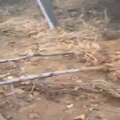 山东省青岛市莱西市嫁接桃树苗 4-10公分占地桃树,具体价格详谈。