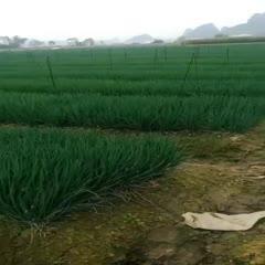 香蔥 柳江區三都鎮蔥花基地
