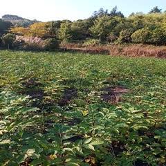 廣西壯族自治區桂林市興安縣 江西中花吳茱萸苗,根系好存活率高,果盤大,種下當年可掛果