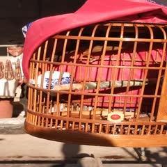 云南省普洱市景東彝族自治縣畫眉鳥 老山毛  現重  68.幾克   半熟鳥    眼沙特別到位