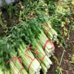 陜西省西安市高陵區西芹 蔬菜大棚第一村,高陵何村無公害蔬菜基地