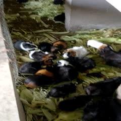 廣西壯族自治區玉林市陸川縣生態黑豚鼠