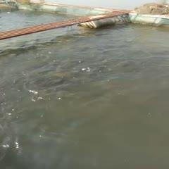 廣西壯族自治區南寧市橫縣網箱草魚 人工養殖 1.5-3公斤