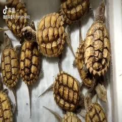 廣東省茂名市電白區 黃金甲佛鱷碌仔