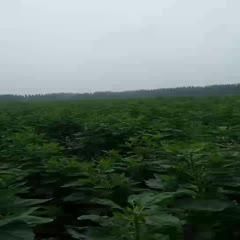 河南省許昌市鄢陵縣 紫洋芋,又名洋姜,大量出售,價格優惠