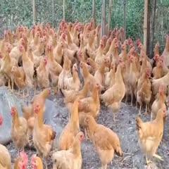 鸡肉类 特价货