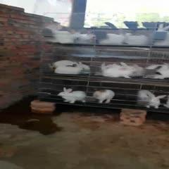 四川省綿陽市江油市 常年供應肉兔,種兔,小兔子