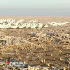 遼寧省鞍山市臺安縣 農村散養大白鵝210多天