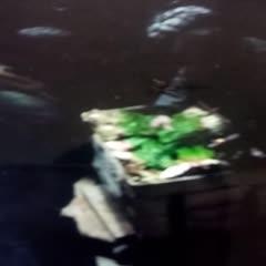 甘肅省天水市武山縣大葉韭菜 頭茬 20~30cm
