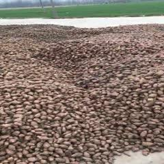 河南省許昌市鄢陵縣紫菊芋 紫洋芋,500畝產地,正在開挖,現挖現賣,價格優惠