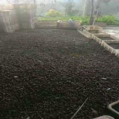 湖北省荊州市監利縣 石螺貨源充足,鮮活肥美,要貨的聯系我