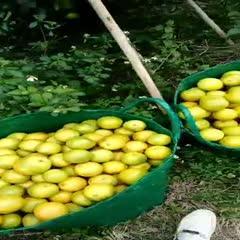 廣西壯族自治區崇左市大新縣 紅心橙,沙糖桔,沃柑 大量供貨