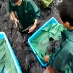 浙江省金華市東陽市花鰱 橫店影視城胖頭魚