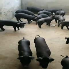 山東省臨沂市郯城縣 原種蘇太母豬