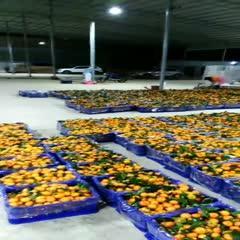 廣西壯族自治區崇左市大新縣甜橙 紅心橙,沙糖桔,沃柑