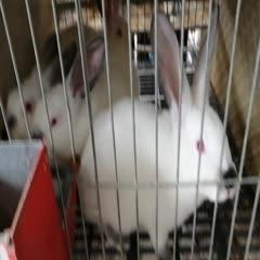 四川省遂宁市大英县比利时兔 伊拉  比利时种兔商品兔