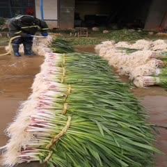 湖北省武汉市江汉区红头蒜苗 45 - 50cm