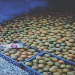 湖南省湘西土家族苗族自治州凤凰县椪柑 刚下树甜甜的鲜果