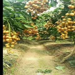 廣西壯族自治區欽州市靈山縣黑黃皮果 黑黃皮超甜的產量非常高的一個品種有看上的微我吧!