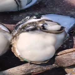 广东省佛山市南海区湛江牡蛎 海水 2-3两/只 鲜活水产