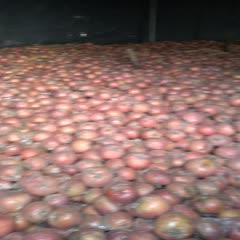 江蘇省徐州市豐縣富士王蘋果 70mm以上 黃色 膜袋