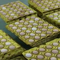 貴州省黔南布依族苗族自治州長順縣 貴州高原土雞蛋,長期穩定供貨