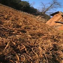 贵州省毕节市威宁彝族回族苗族自治县 续断——欢迎咨询采购,无芦头,无泥,大量出售。