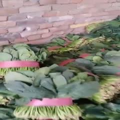 山东省聊城市东昌府区 精品菠菜,山东老李欢迎来实地考察??!