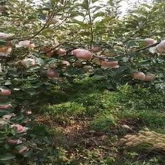 山東省日照市莒縣長富2號蘋果 自家土肥種植的紅富二號,好吃耐儲存