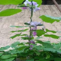 绿扁豆 扁豆荚