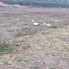 廣西壯族自治區來賓市忻城縣 供應深山生態放養小香豬