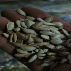 四川省廣元市蒼溪縣 直銷優質小片農村土老品種南瓜子(南瓜籽,南瓜米),營養豐富