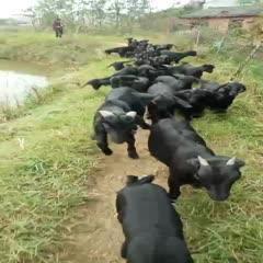 努比亚羊 30-50斤