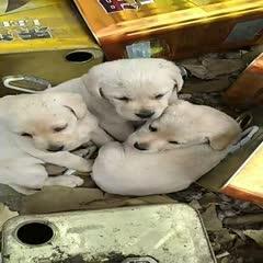 安徽省淮北市相山区拉布拉多犬