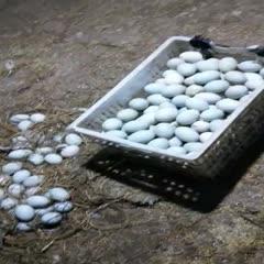 湖北省隨州市曾都區 麻鴨蛋