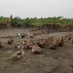 自家鴨場散養鴨鴨蛋。代發物流、快遞。