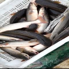 连云港海州区 梭鱼