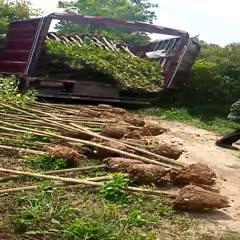 滁州來安縣 高桿女貞 大葉女貞 冬青樹 占地賠償專用價格低