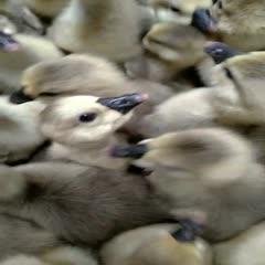 南宁西乡塘区狮头鹅苗 场家直销 广西区内一百只以上包运费 出壳包打疫苗 包运输损耗