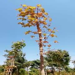 邢台威县五角枫苗 销售4至6公分好二级二级五角枫,需要的速联系