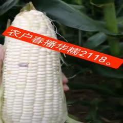 鄭州惠濟區 雜交白色玉米種子,抗莖腐病,大穗,粘糯無渣,干鮮兩用,