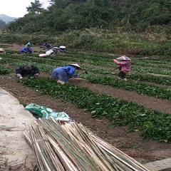 黔南独山县 供应南板蓝根种苗,高15一25厘米,可包回收