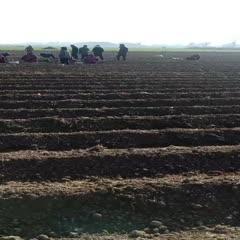 亳州谯城区白术苗 白术种植现场技术指导