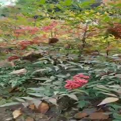 襄樊南天竹种子 鲜果南天竹最好一波福利啦!干货目前有一吨的量!