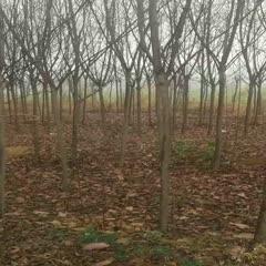 许昌鄢陵县紫叶稠李苗 清园处理6一8和4一5的紫叶稠李。