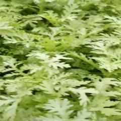 濰坊寒亭區 茼蒿菜,蒿子桿